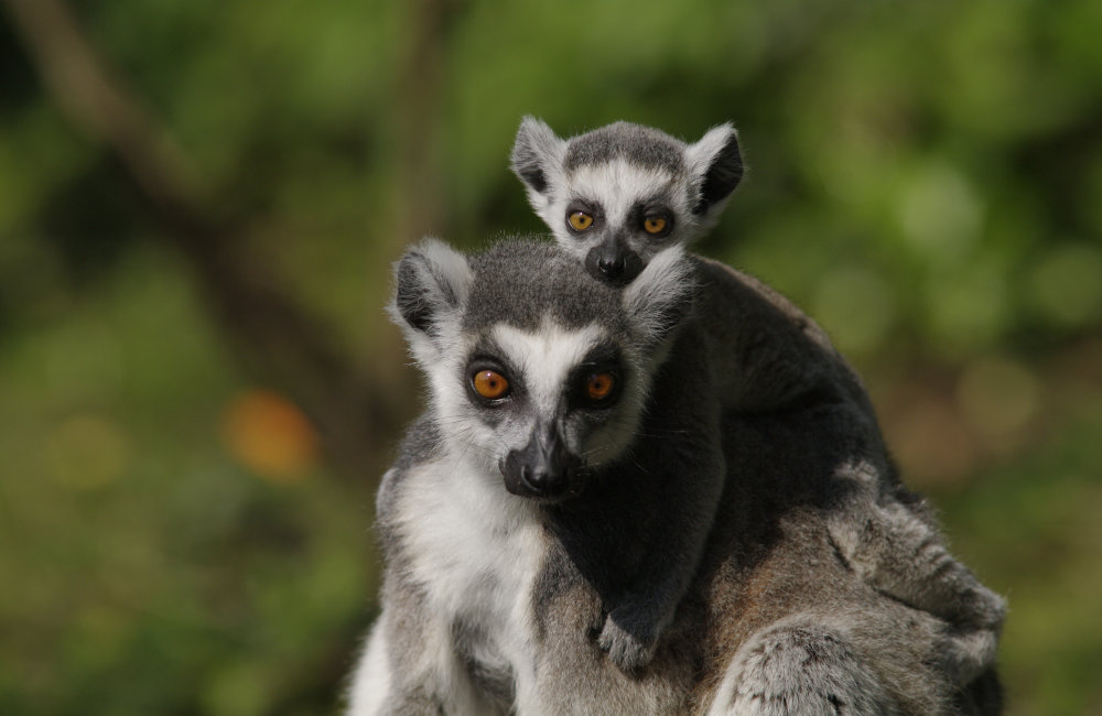 Ring tailed lemurs at the Wildlife Oasis