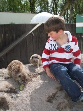 A junior keeper for the day, hard at work feeding the meerkats