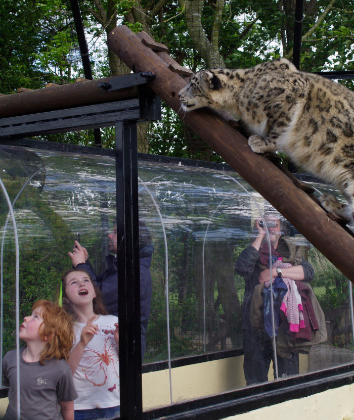 A family gets up close to a snow leopard